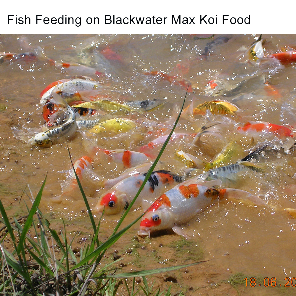blackwater max growth koi food 40lb free shipping the best