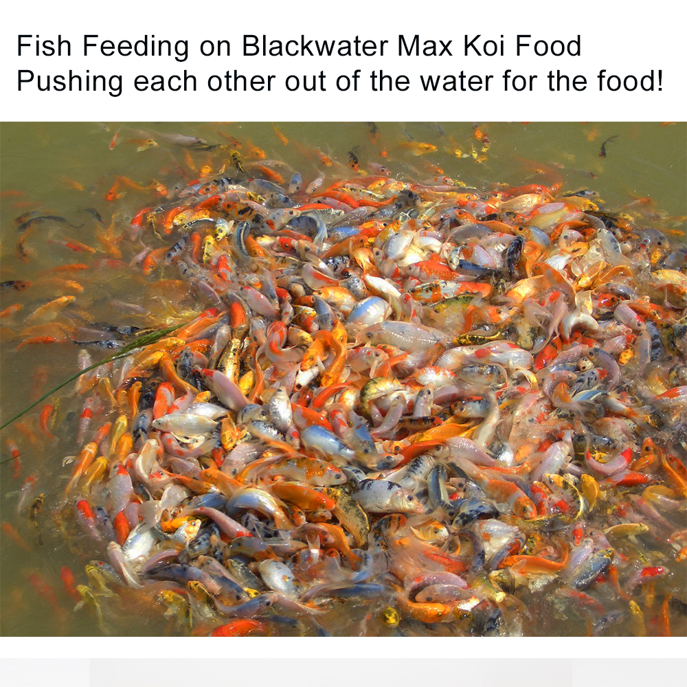 Blackwater max growth koi food 2lb compare this koi food for Best food for koi fish